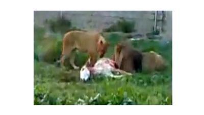 فيديو.. حديقة إيرانية تقدم حميراً حيَّة لأسود جائعة لتأكلها بوحشية أمام السياح