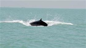 الحيتان الثلاثة اختارت المنطقة الهادئة وسط الجون