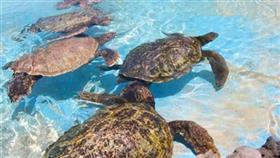 ناجي المطيري: السلاحف البحرية مهددة بالانقراض