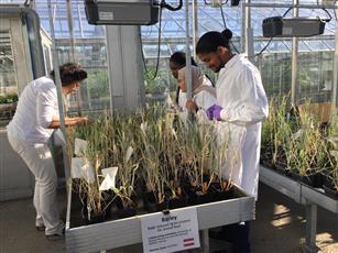 الباحثة الدكتورة حبيبة المنيع في مشروع تحسين زراعة الاعلاف
