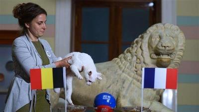 القط «أخيل» يتنبأ بالفائز من مواجهة بلجيكا وفرنسا