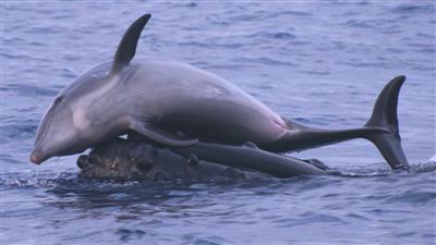 اكتشاف حيوان بحري غريب.. هجين بين الحوت والدلفين