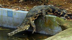 عجوز ينجو من فكي تمساح ضخم