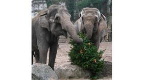 أشجار «الكريسماس» تتحول إلى «وجبة شهية»