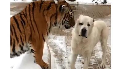 في مشهد غير مألوف.. كلب يهاجم نمرا قبل أن يقع ضحية لتصرفه
