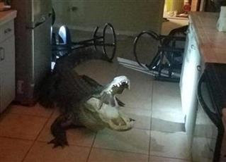 تمساح ضخم يقتحم منزلا بـ«فلوريدا».. والشرطة تنقذ الموقف