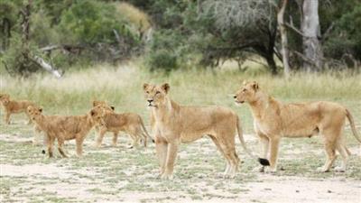رعب في جنوب إفريقيا بعد هروب 14 أسدًا من محمية طبيعية