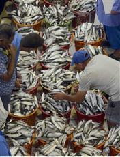 بعد غياب ستة أشهر.. سمك «الميد» يعود للموائد الكويتية