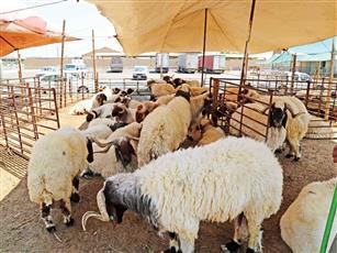 «الوطن الإلكترونية» ترصد أسعار الأضاحي مع قرب العيد