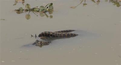بالفيديو - معركة دامية بين «أناكوندا» ضخمة و«تمساح».. من ينتصر؟