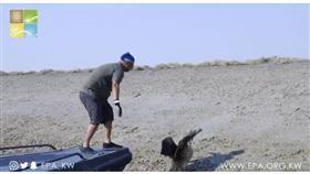 الهيئة العامة للبيئة تطلق البجع الأبيض في جزيرة بوبيان