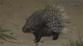 «عدسة البيئة» ترصد حيوان النيص عدة مرات بين الرتقة والشقايا