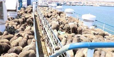 رفض إسترالي لمنح إعفاء لتصدير الأغنام إلى الكويت