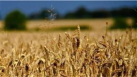 مصر تطرح مناقصة لشراء كمية غير محدودة من القمح