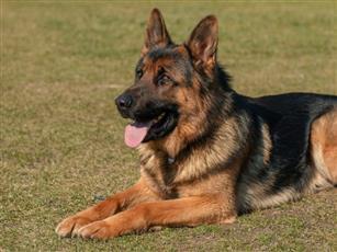 إصابة أول كلب بفيروس كورونا في الأردن